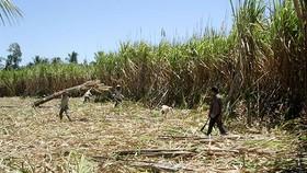 Nông dân ĐBSCL ào ạt phá bỏ ruộng mía