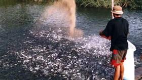Đã có 800ha diện tích nuôi cá tra giống tăng nhanh trong thời gian qua