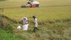 Giá lúa tăng ở ĐBSCL, nông dân có lãi