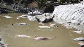 """Lo ngại """"đặc trưng sông nước"""" của ĐBSCL khiến dịch tả heo châu Phi lây lan"""