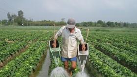 Chuyển đổi cây trồng trên đất lúa mang lại hiệu quả kinh tế cao