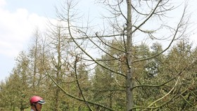 Hàng ngàn ha vườn cây đặc sản ở ĐBSCL bị thiệt hại do hạn mặn