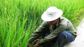 Nhiều loại sâu bệnh gây hại cho lúa hè thu ở ĐBSCL
