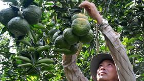 Hơn 11.180ha cây ăn trái ở ĐBSCL mất trắng do hạn mặn