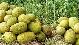 Nông dân thua lỗ vì nhiều loại trái cây rớt giá