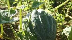Farmers enjoy bumper pumpkin harvest but low price