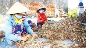 Farmers in Binh Dinh Province have a bumper crop of shallots this year. (Photo: SGGP)