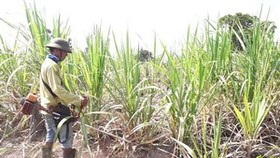 Mekong Delta farmers destroy thousands of hectares of sugarcane