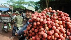 Joy will soon return to Vietnamese lychee growers. (Photo: SGGP)