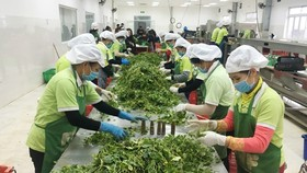 Processing agricultural products for export at International Fresh Vegetables and Fruits Production and Supply Joint Stock Company. (Photo: SGGP)