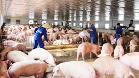 Pig farming recovers quickly. (Photo: SGGP)