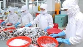 Processing shrimps for export. (Photo: SGGP)