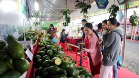 Avocado growing areas increase sharply in the Central Highlands provinces. (Photo: SGGP)