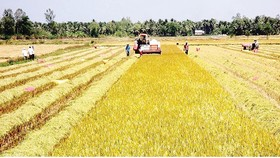 Traders flock to Mekong Delta provinces to deposit for winter-spring rice