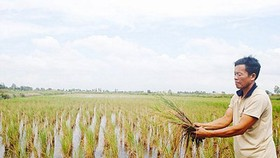 More than 1,000ha of rice damaged by saltwater intrusion in Kien Giang
