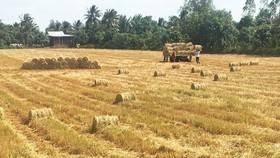 Despite decreasing rice-growing area, farmers still earn profits