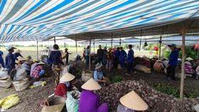 Purple sweet potato prices fall again after short increase