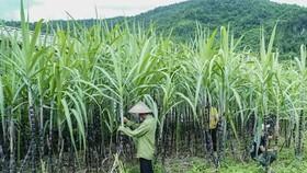 Vietnam imposes 47.64 percent anti-dumping tax on Thai cane sugar imports
