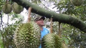Dak Lak Province seeks markets for thousands of tons of durians
