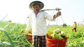 Nông dân Trần Văn Tài gánh dưa gang lên QL1A bán. Ảnh: NGỌC OAI