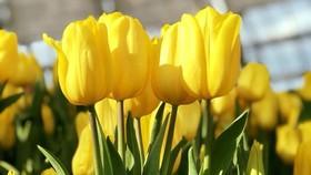 Tulip Flower Festival opens in Nha Trang