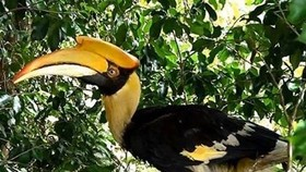 A great hornbill, a rare bird species, is released into the Bach Ma National Park in Thua Thien-Hue province on May 21. (Photo: VNA)