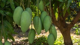 Vietnamese green mango exports to Australia double in H1. (Photo: abc.net.au)