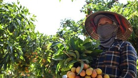Pacific Foods exports first batch of Thanh Ha lychees to EU (Photo: VNA)