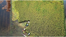 Central region's farmers flock to fields to save rice after storm