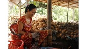 Dừa hiện là sản phẩm chủ lực của tỉnh Bến Tre. Ảnh: TÍN HUY