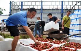 商販在北江省採購荔枝。(圖源:Q.Đ)