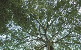 50米高的榕樹。(圖源:互聯網)