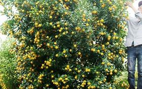 阮文寧果農的四盆橘樹中的一盆,價格3500萬元。