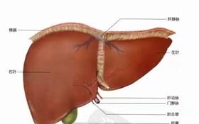 人體肝臟。(示意圖源:互聯網)