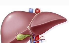 人體肝臟示意圖。(圖源:互聯網)