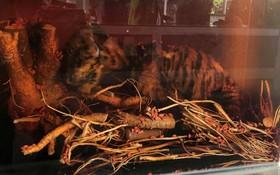 整隻小老虎被泡在玻璃酒缸內。(圖源:林園)