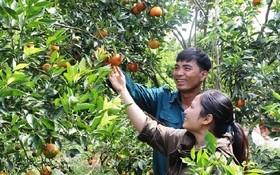 採用 VietGap 標準生產的果園。