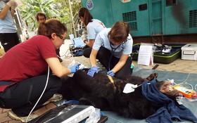 圖為越南野生動物收容中心志願隊員在給一隻熊檢查體康。(圖源:越通社)