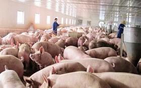 生豬售價激增。(示意圖源:互聯網)