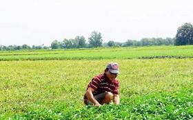 本市農業戶逐漸減少。圖為一名農夫在收割通心菜。(示意圖源:互聯網)