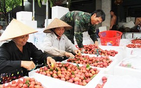 農民準備將荔枝輸往中國。(圖源:北江新聞網)