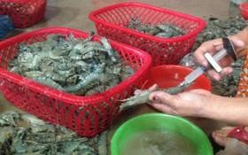 應從嚴對蝦類注入雜質的違法行為。(示意圖源:互聯網)