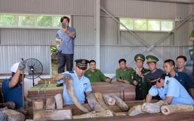 峴港市海關配合各相關職能力量近日查獲總重量達9.12公噸的非法入境象牙。(圖源:越通社)