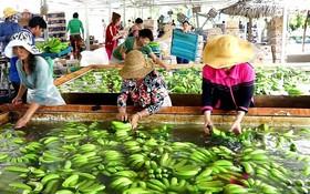 去年,我國香蕉外銷中國市場的金額達8億8060萬美元。