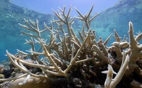 受氣候變暖影響,加速白化的澳大利亞大堡礁珊瑚。(圖源:Guardian)