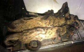 藏在車廂裡的兩隻已被屠宰的果子狸。(圖源:黃平)