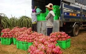 農民將收成的火龍果搬裝到貨車上。(圖源:陲楊)