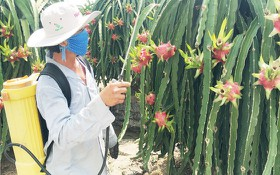 火龍果是北部各省消費者喜愛的水果之一。