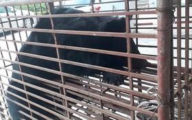 職能力量查獲一頭重量約140公斤的亞洲黑熊被困在鐵籠內。(圖源:德雄)