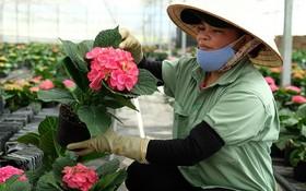 多種進口品種花卉將在春節銷售。
